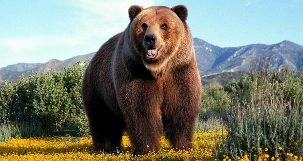 Marc Gasol, grizzly